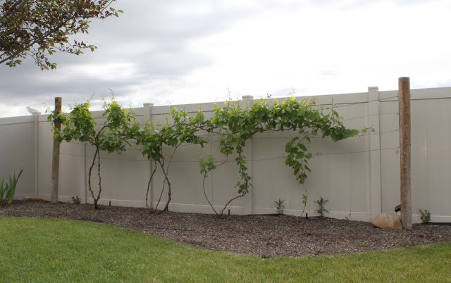 Backyard Vineyard Design : Backyard Grape Vine Trellis Hettingerus decorative grapevine trellis