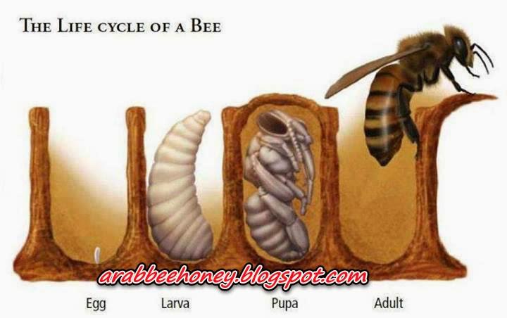 بالصور-دورة حياة نحل العسل