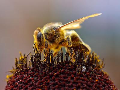 Gambar Bagus Lebah