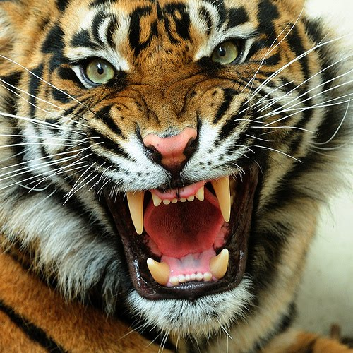 Angry Tiger Face Pictures Wallpaper Zone