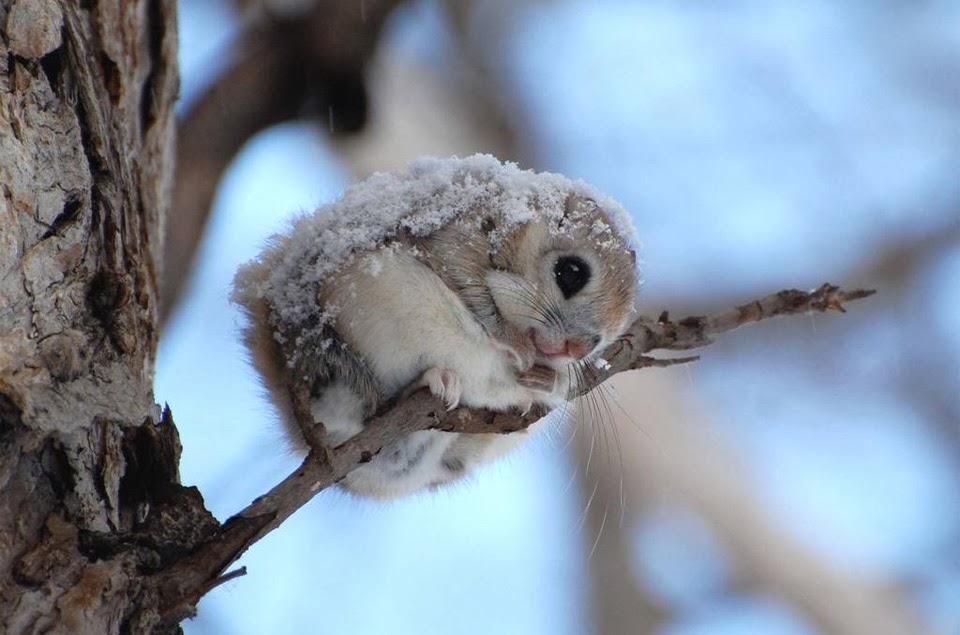 Cute flying squirrels - photo#5