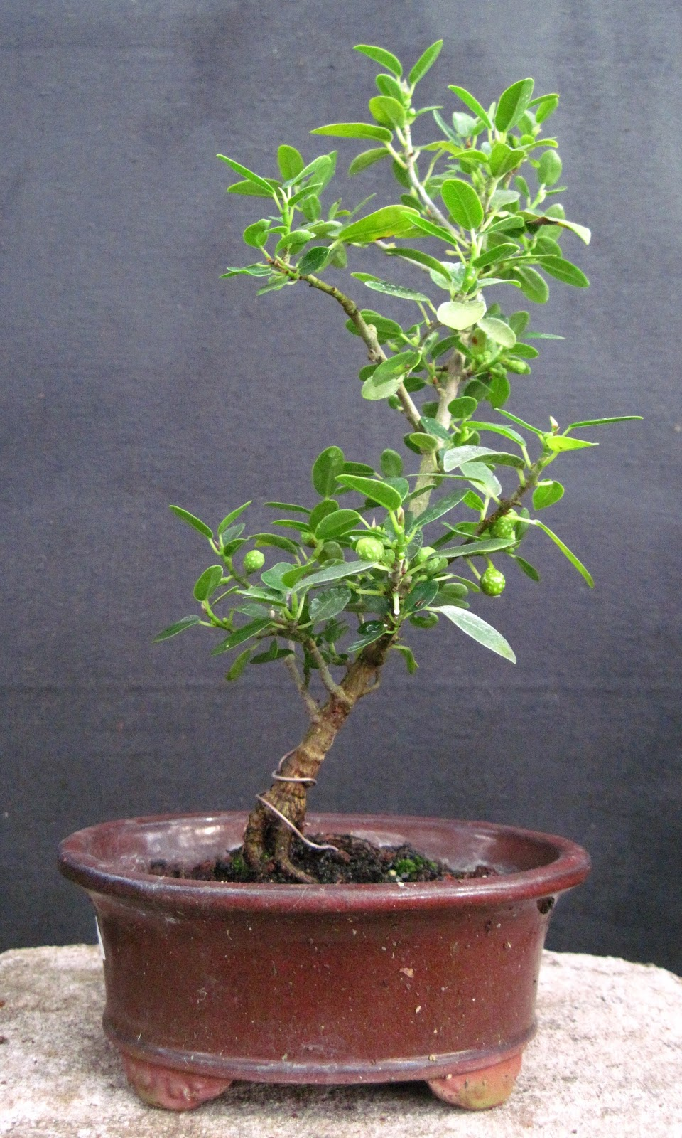 Bonsai Beginnings Burtt Davy39s Fig