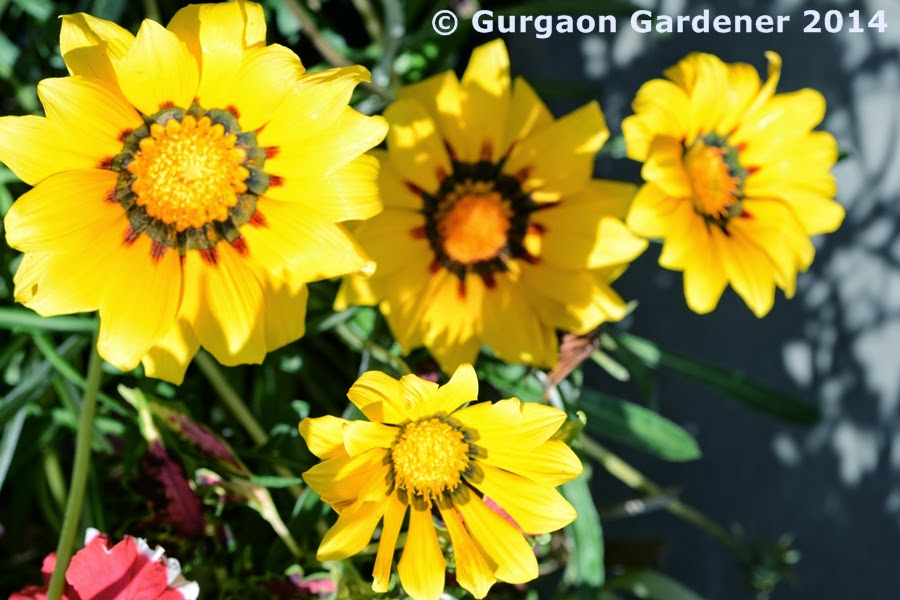 Gurgaon gardener gazania treasure flower for Soil gurgaon