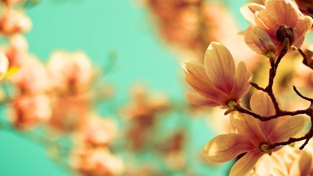 Magnolia Flowers HD Wallpaper