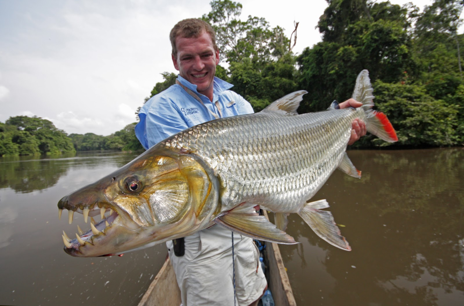 Goliath tigerfish caught on Congo river in an exloration trip of