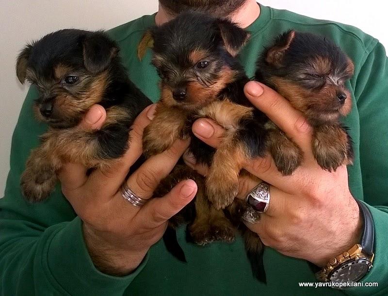 yorkshire terrier resimleri