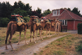Camels in Somerset