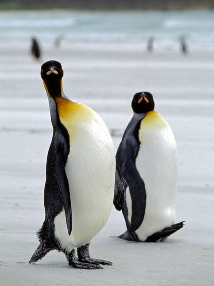 Do penguins have feathers - photo#16