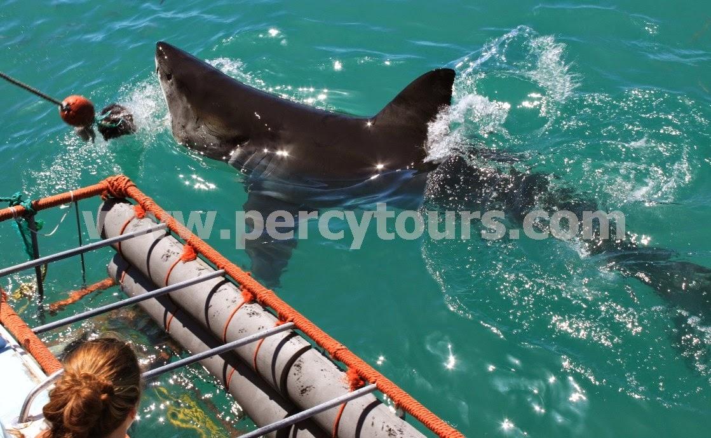 Great White Shark boat trip Hermanus