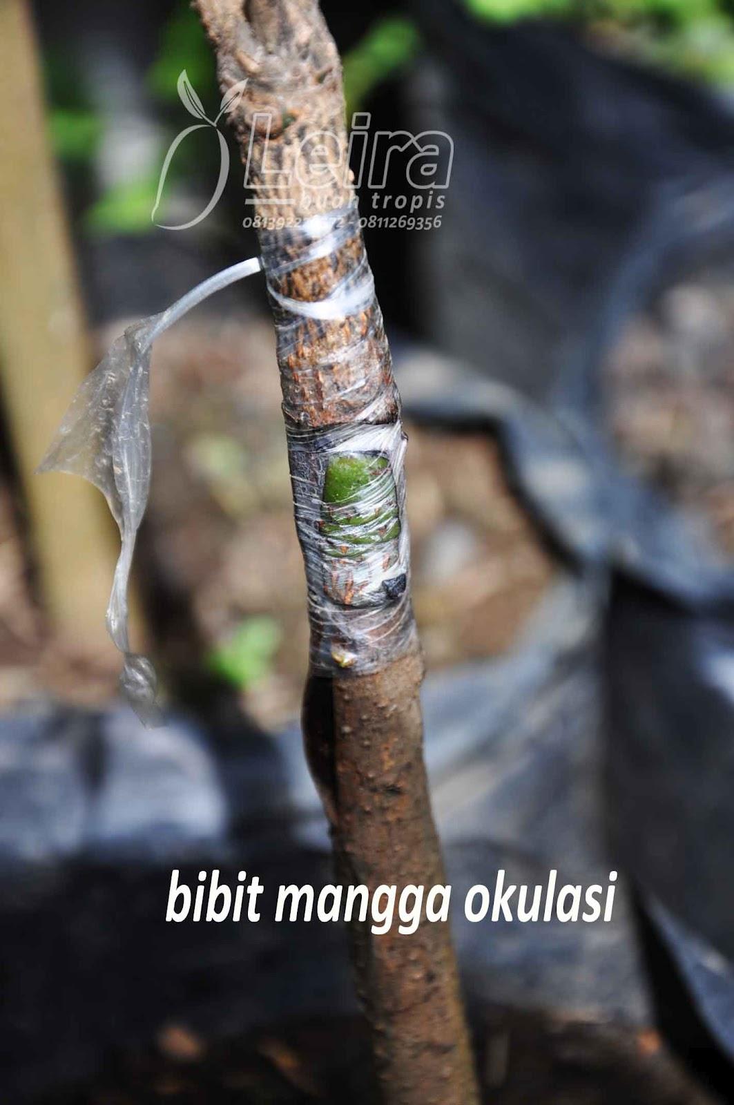 Variasi Bibit Tanaman Buah Mangga ~ Leira Buah Tropis