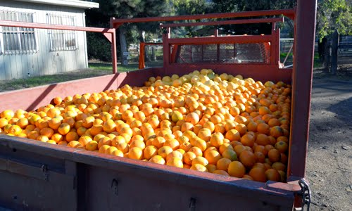 truck of oranges