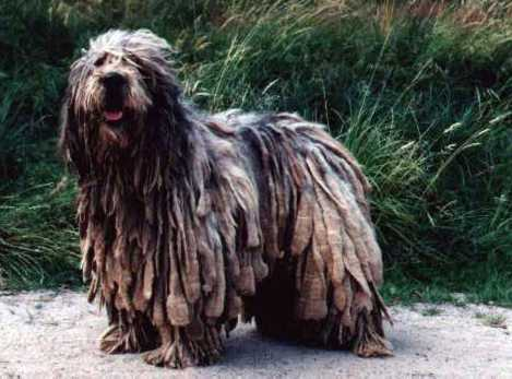 Bergamasco Intelligent Dog