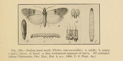 Illustrationof Plodia interpunctella - Indian Meal Moth