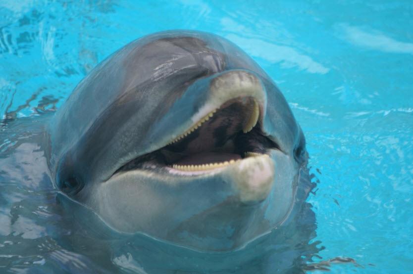 bottlenose dolphin informative speech essay Bottlenose dolphin informative speech essay 890 words | 4 pages the bottlenose dolphin specific purpose: to inform my audience about the bottlenose dolphin species.