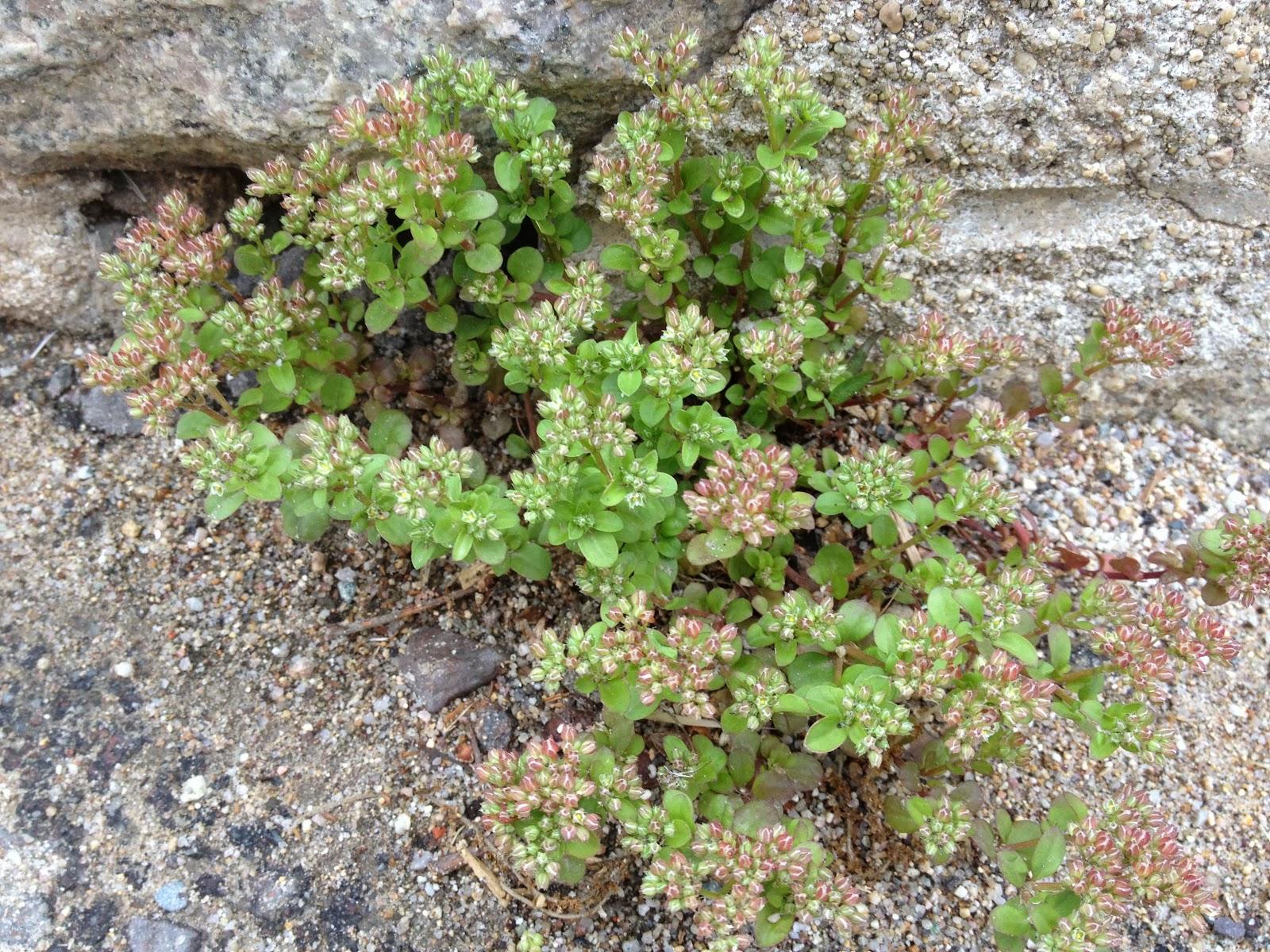 Flore d 39 ajaccio polycarpe feuilles par quatre for Plante annuelle