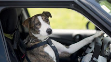 DOGS THAT CAN DRIVE