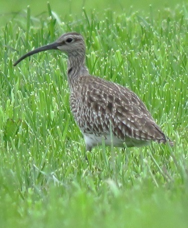 Whimbrel