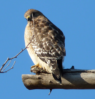 red-shouldered hawk side