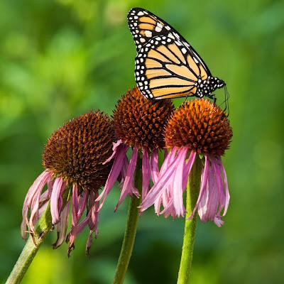 Monarch on Cornflower, LLELA