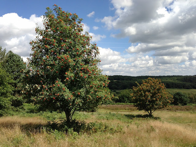 Rowan trees on Ashdown Forest.  6 August 2013.