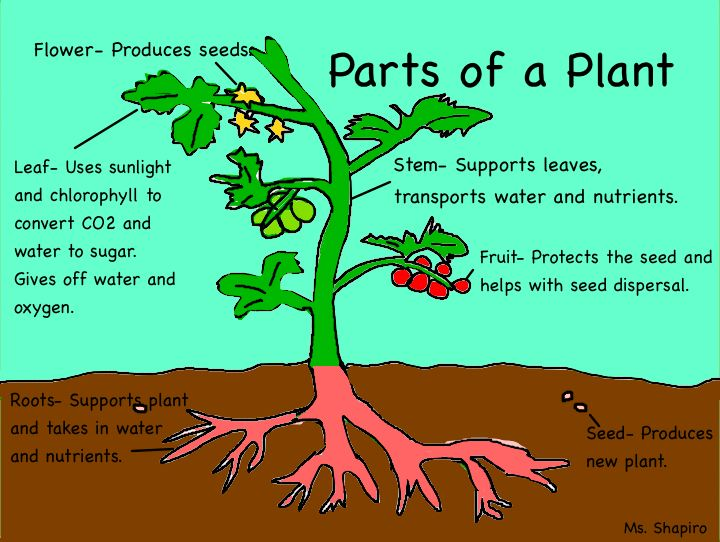 Parts Of The Plants  U2318 U2318  A Diagram Of Plant Parts And Their