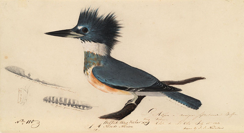 Audubon's Kingfisher
