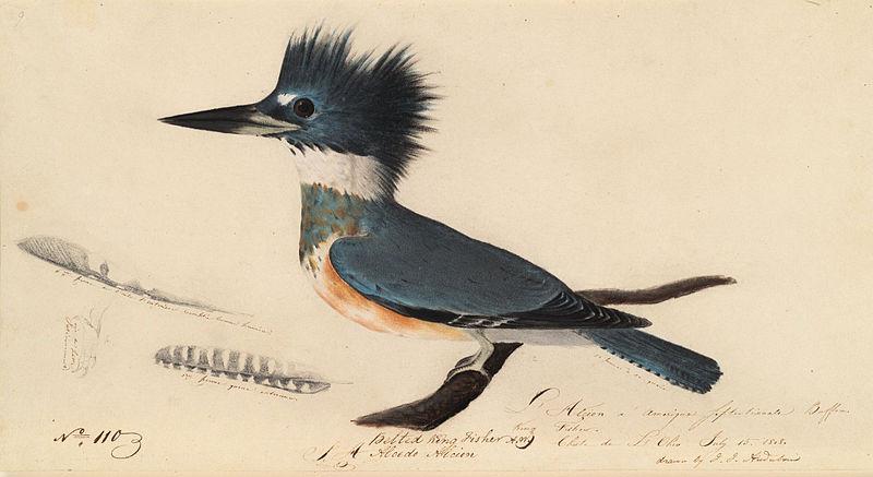 Audubon's Kingfisher