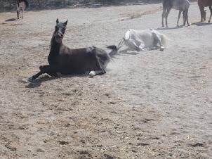 Horses having a mud bath in Goreme  ranch.