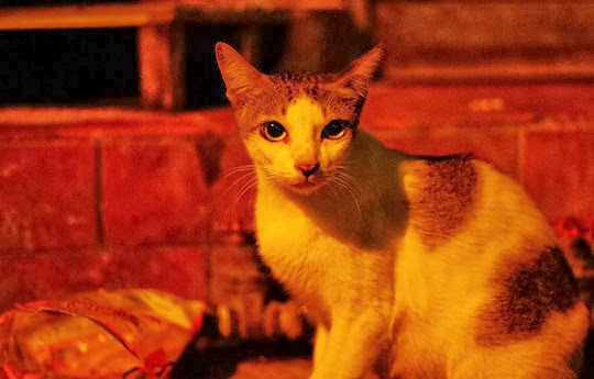 street cat of bangkok