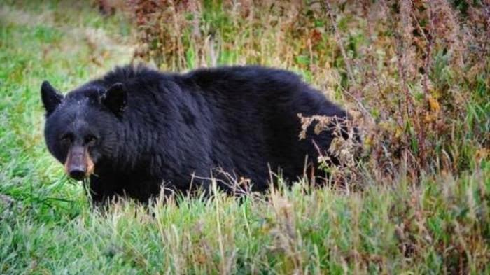 patel tewas diterkam beruang