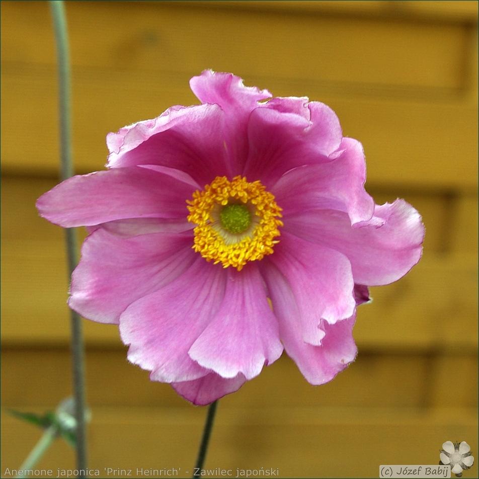 Anemone hupehensis var. japonica 'Prinz Heinrich' - Zawilec japoński 'Prinz Heinrich'  kwiat