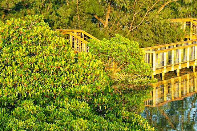 mangroves, river, forest,wooden decking and railing, boardwalk