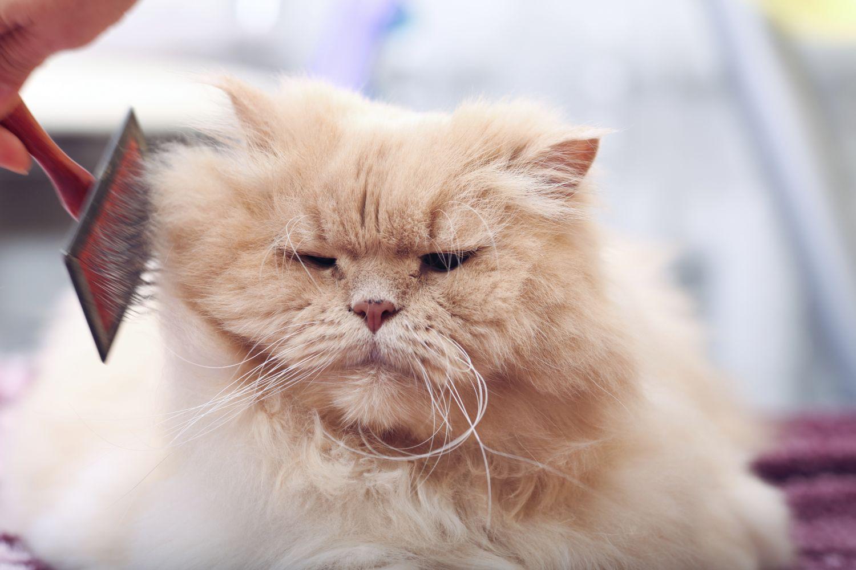 dog  Queda de cabelo em gatos