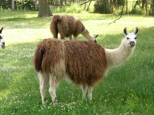 Llamas Making Funny Faces Llama A Funniest Anima...