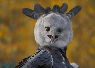 Harpy Eagle images
