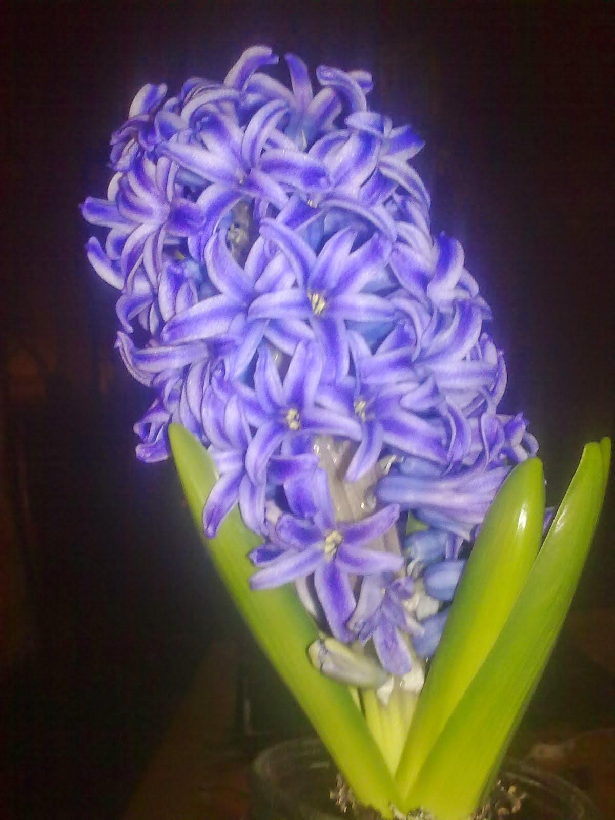 Jacinto (Hyacinthus spp.)