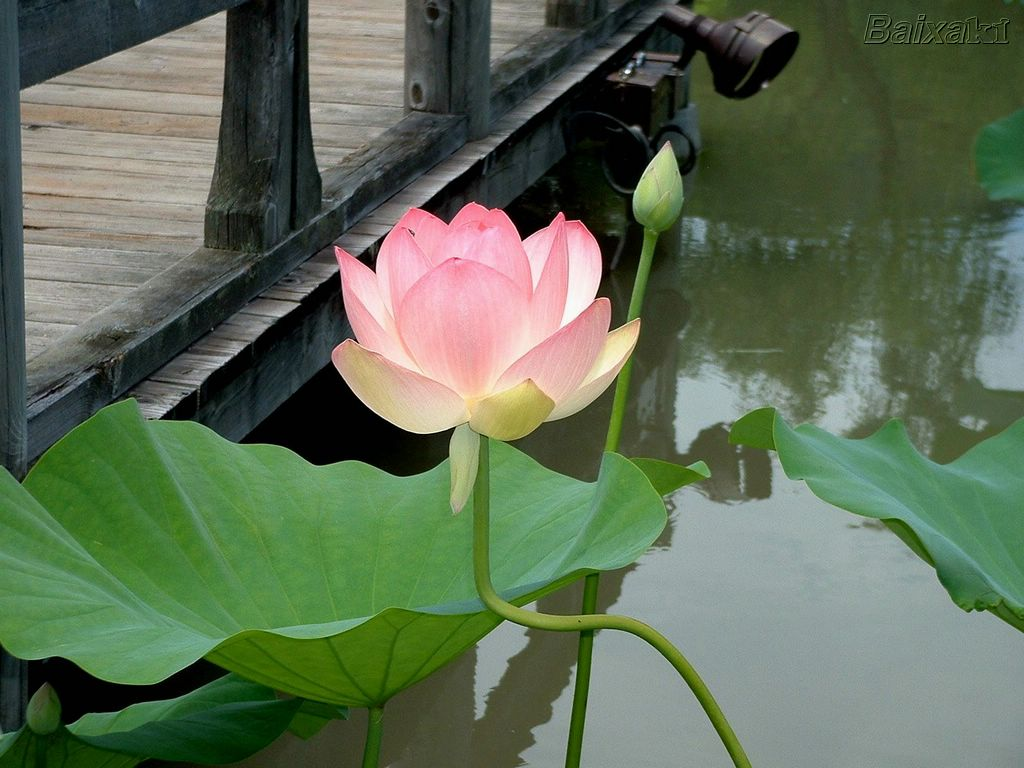 ... lotus e o simbulo de pureza e perfeicao da natureza budica inerente