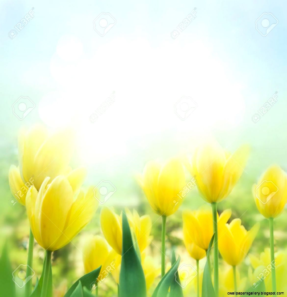 Spring Background With Beautiful Yellow Tulips Stock Photo