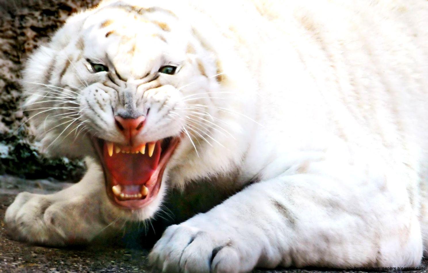 White Lion Wallpaper Hd 1080p Amazing Wallpapers