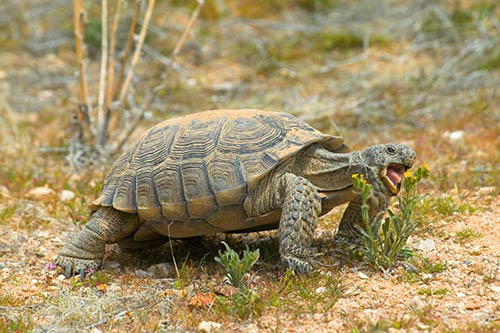 Desert tortoises dying to breed as climate change threatens extinction