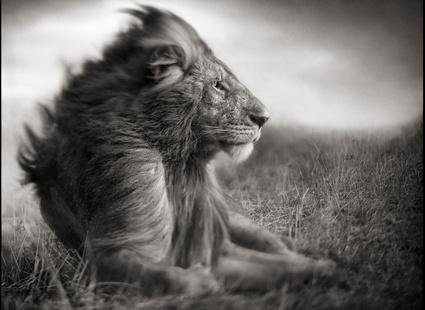 Tisotit Majestic Lion Wallpaper
