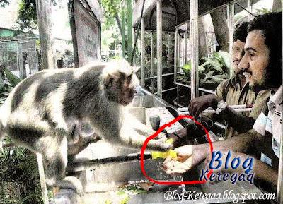 ibu monyet