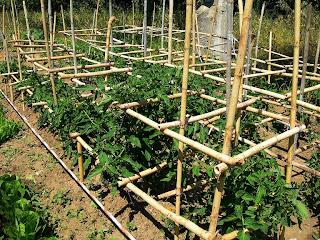 Στήριξη φυτών ντομάτας (κρεβατίνες)