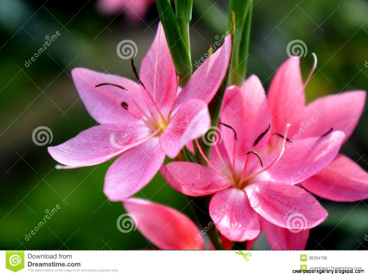 Sunlit Pink Flowers Royalty Free Stock Image   Image 36334796