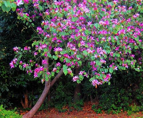 Um jardim para cuidar pequenas rvores floridas for Hibiscus arbol