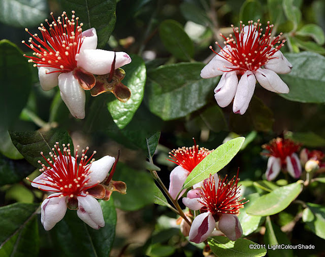 Pineapple guava, Feijoa sellowiana flowers