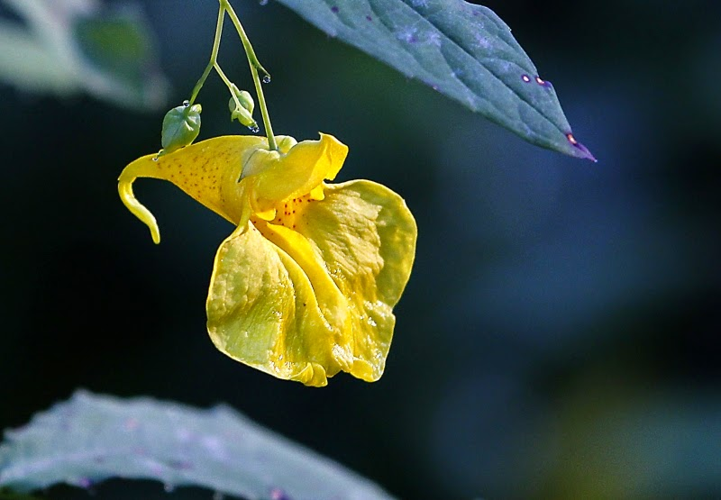 Flower of Touch-me-not Balsam, Impatiens noli-tangere, closeup