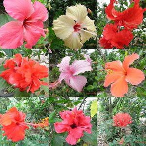 Variasi Bunga Raya