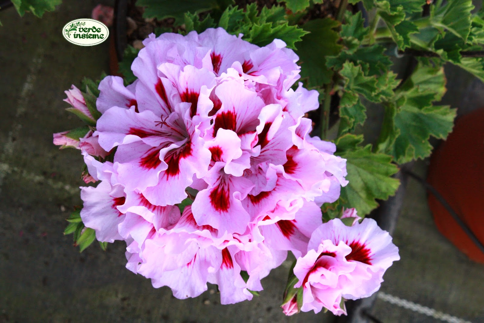 Pelargoni fiori per fare belli i balconi di citt - Geranio odoroso ...
