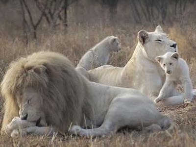 en Timbavati. Para la tribu local de esta región, los leones blancos ...